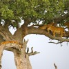 Lions in a tree, Serengeti National Park, Tanzania.